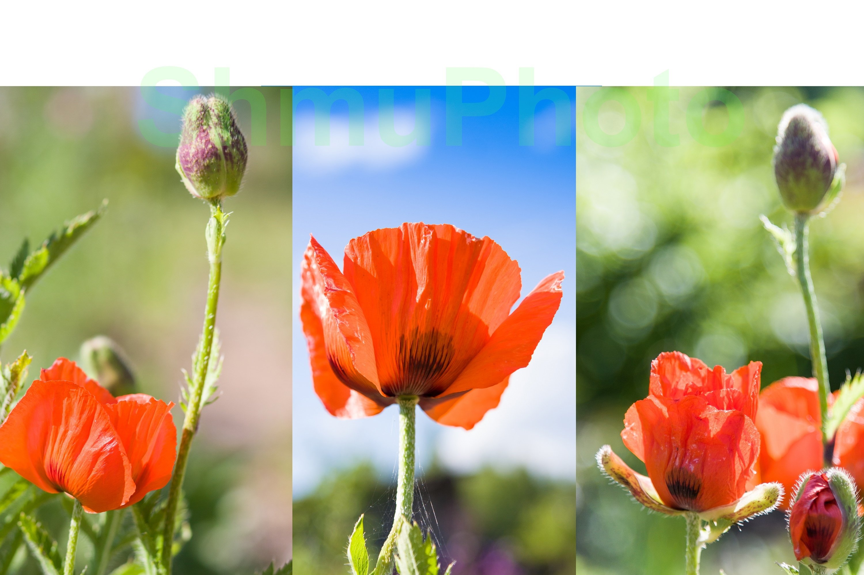 Red poppies Papaver somniferum in summer example image 1