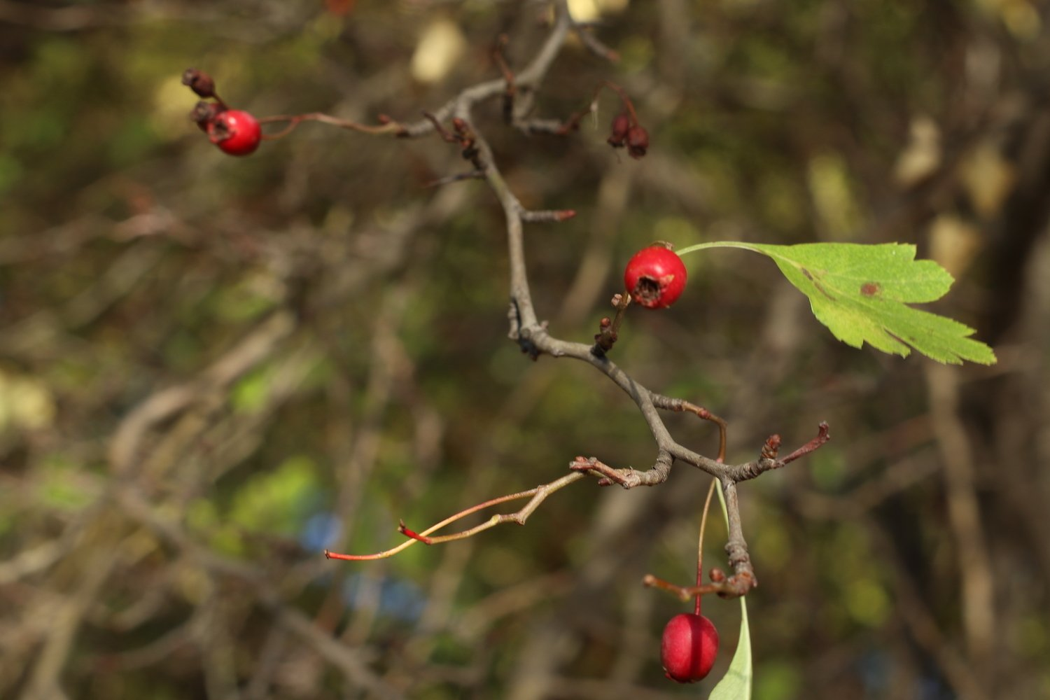 rosehip bush with red berries close-up example image 1
