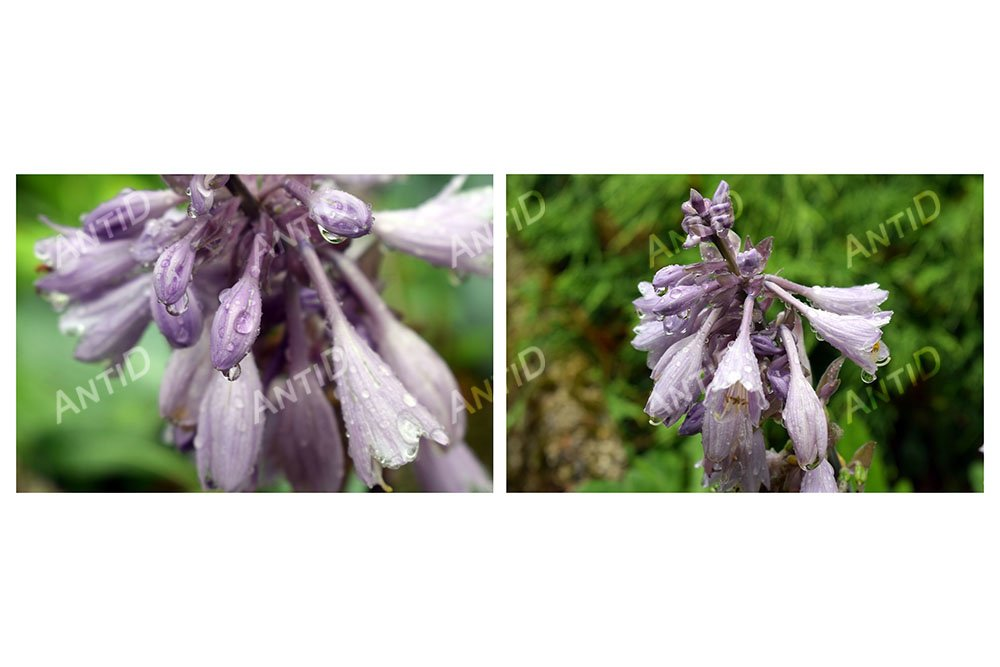 Set of 2 images. Flowers garden plant hosta after the rain. example image 1
