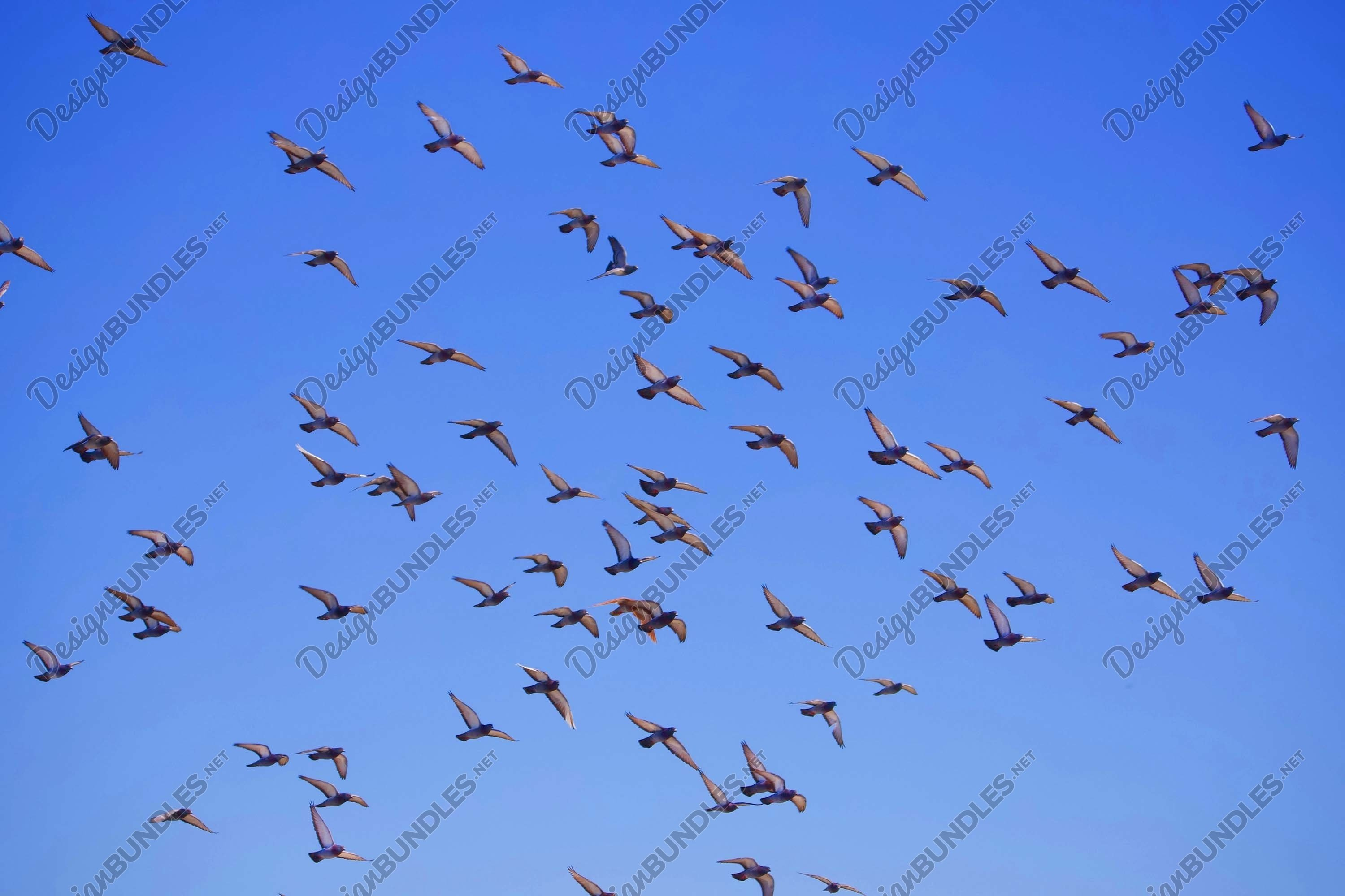 Stock Photo - Low Angle View Of Birds Flying In Blue Sky example image 1
