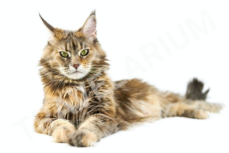 Adult Maine coon cat, isolated. example image 1