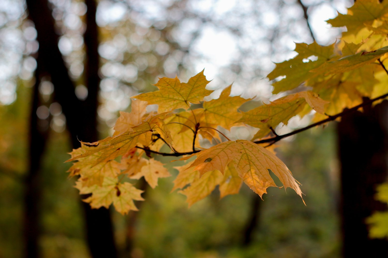 yellow autumn leaves on a tree close up example image 1
