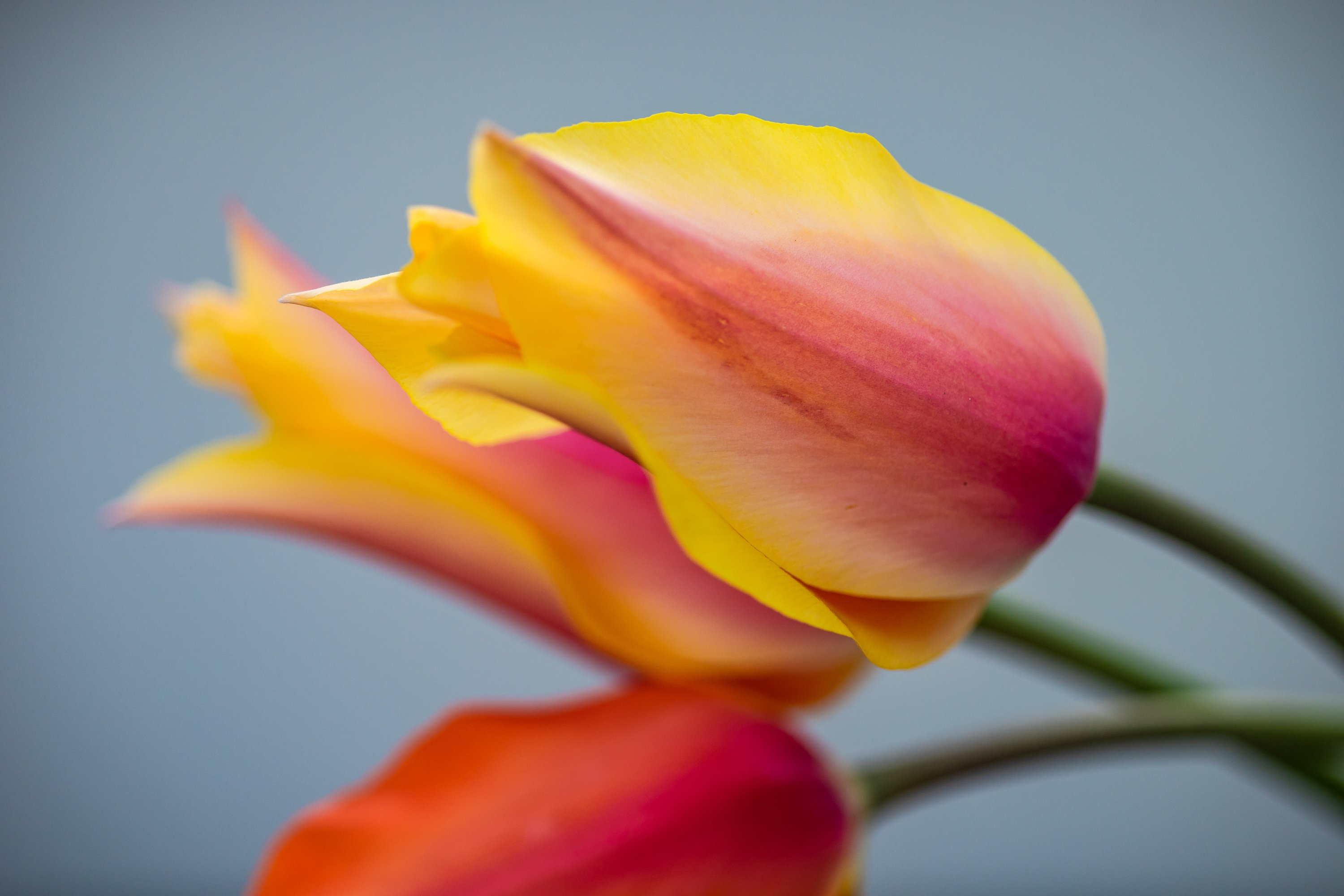 Beautiful tulip flowers bouquet example image 1