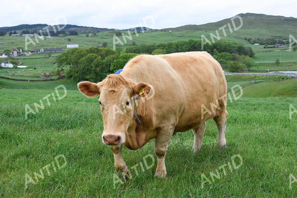 Cows graze on a green pasture example image 1
