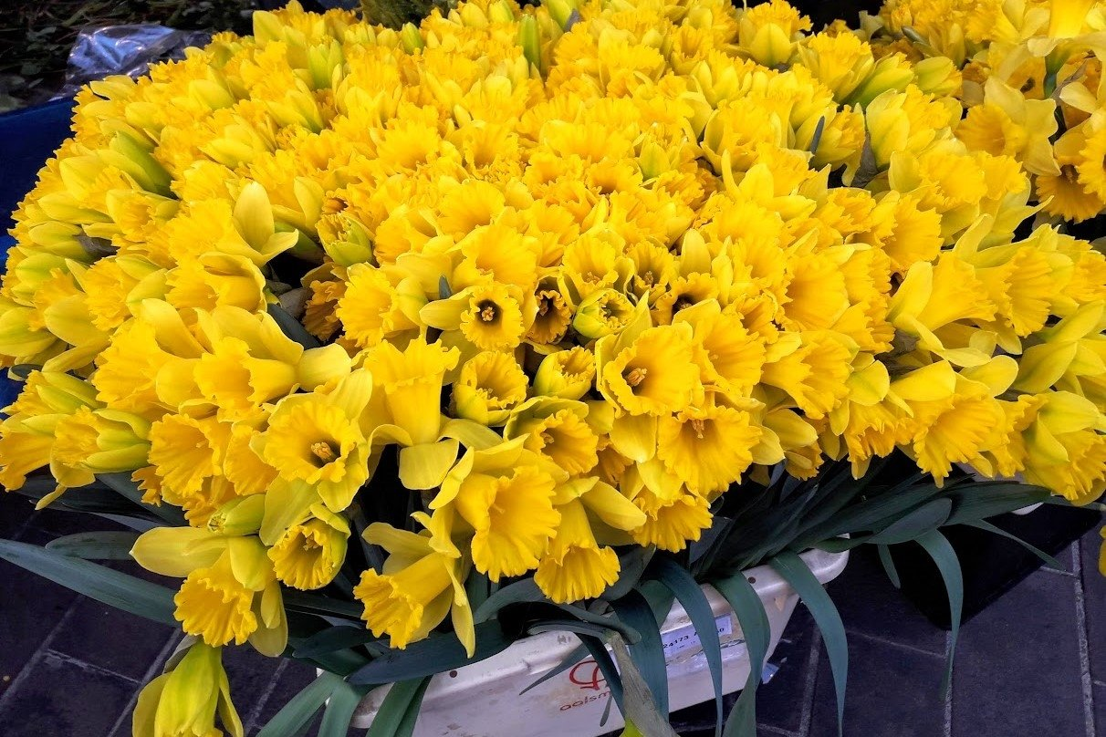 Flowers photos Yellow daffodils example image 1