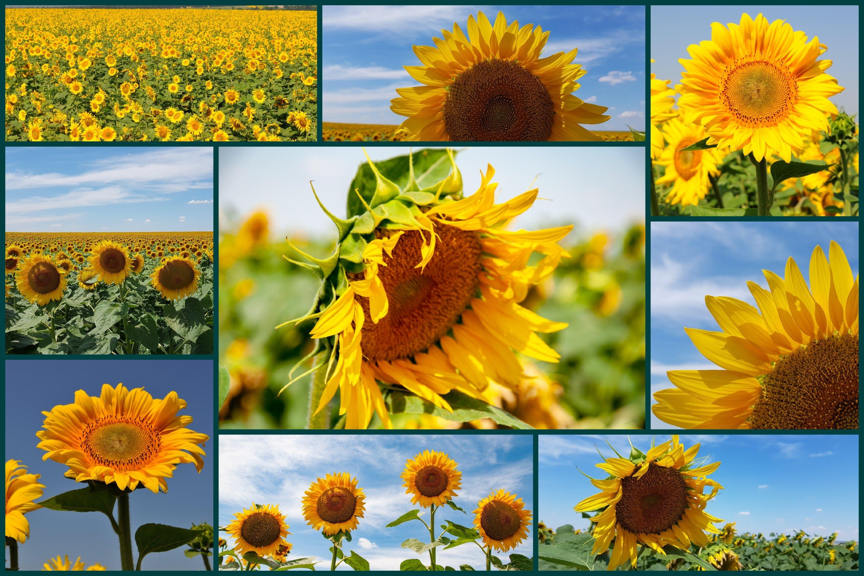 26 Sunflower Summer Photo Backgrounds example image 3