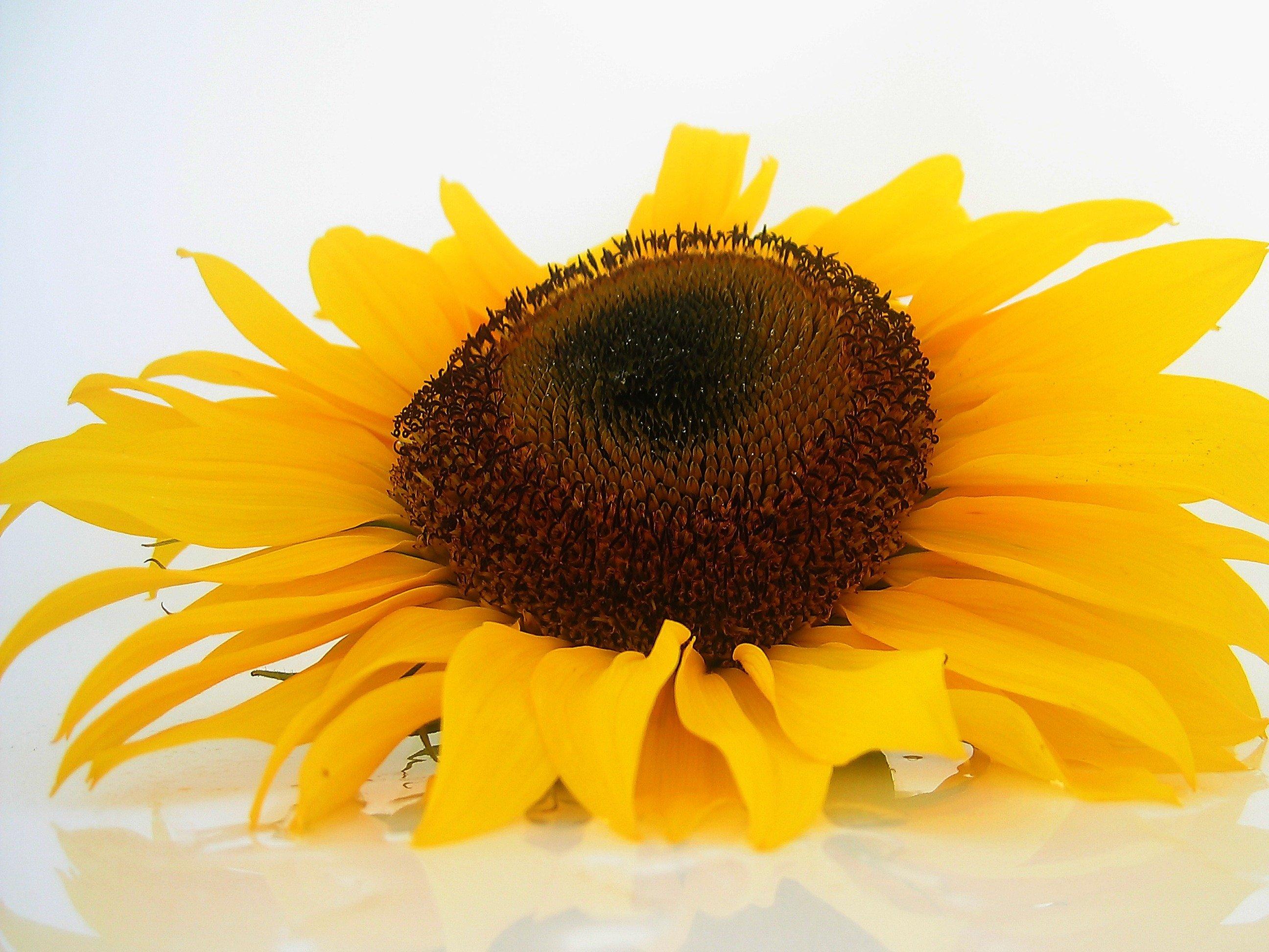 200 Sunflower Photoshop Overlays  Backdrops  Backgrounds