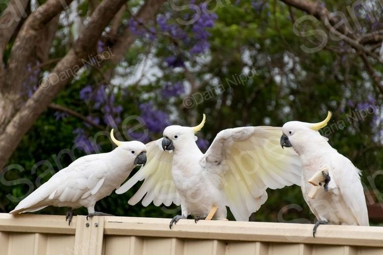 Cockatoos on a fence example image 1