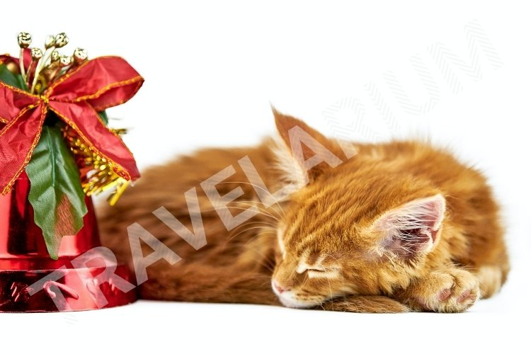 Red sleeping maine coon kitten, isolated. example image 1