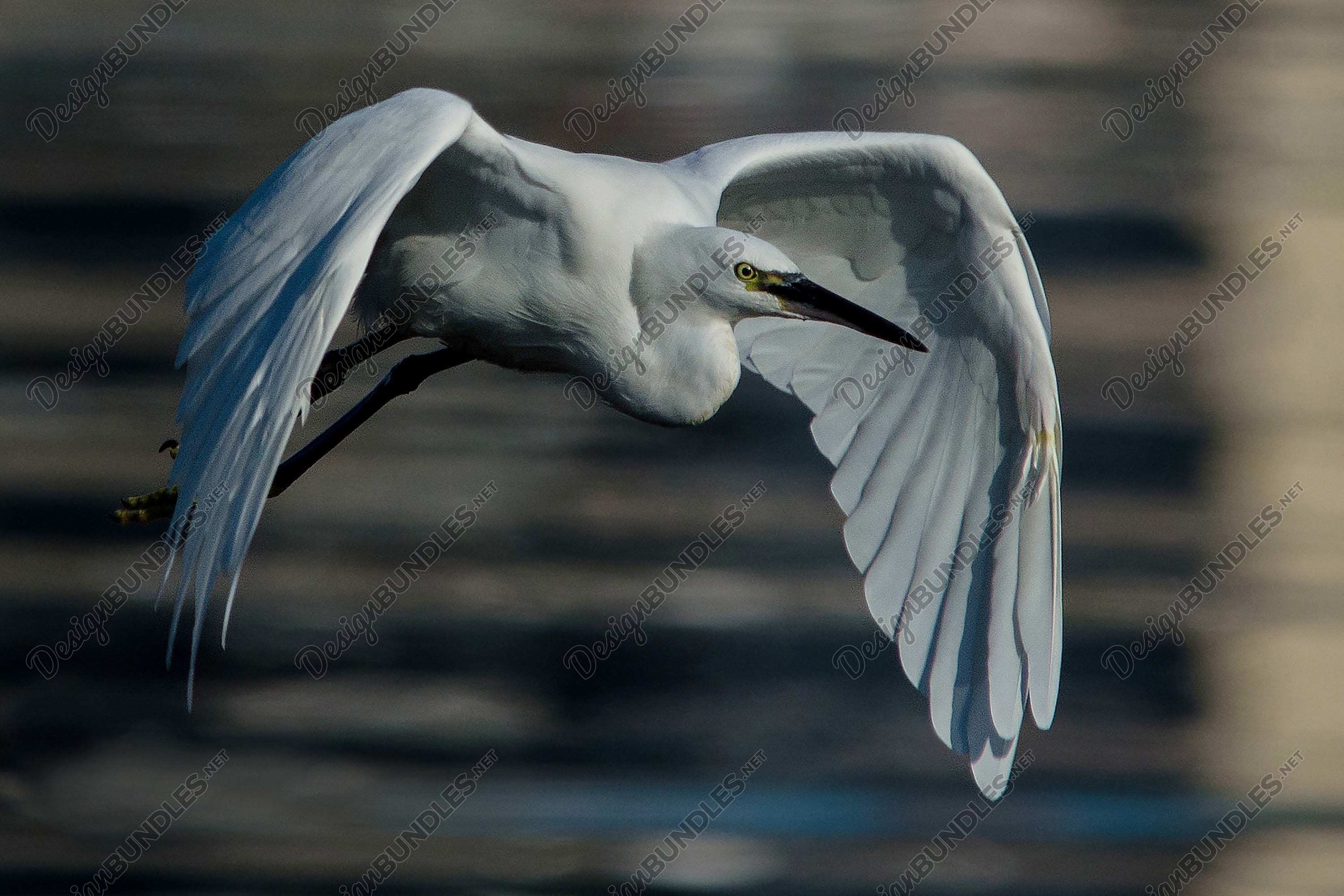 Stock Photo - Great Egret in flight example image 1