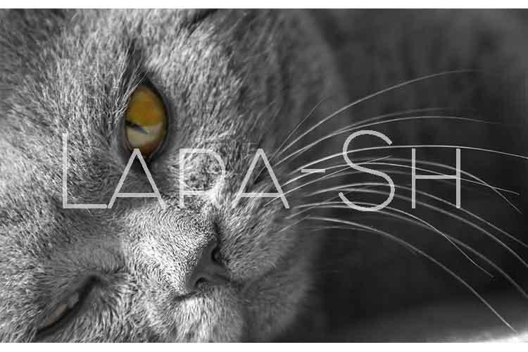 British blue Shorthair cat example image 1
