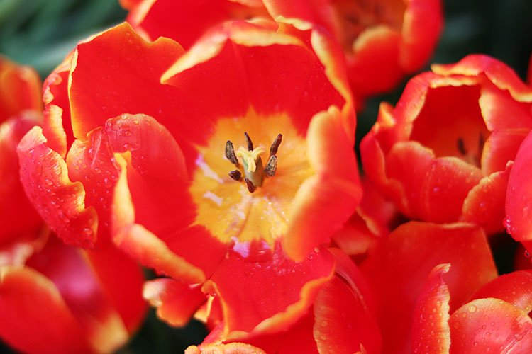 red flowers tulips close up example image 1