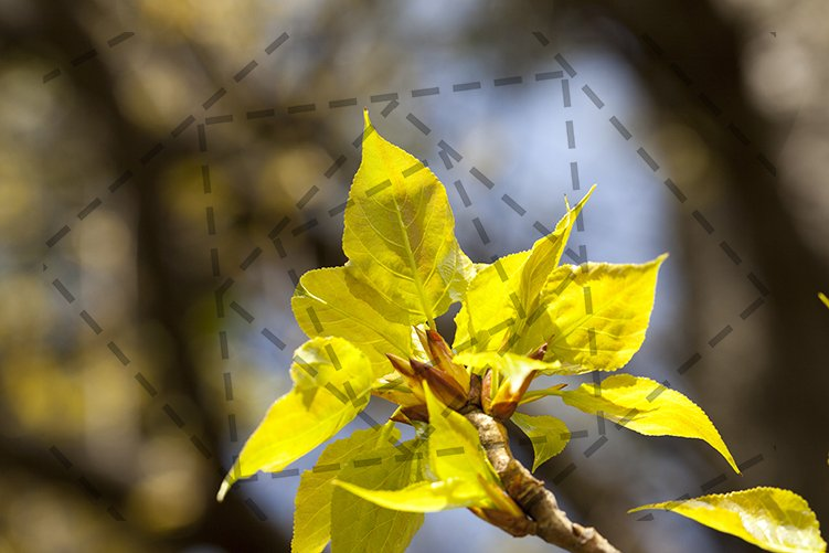 linden trees in the spring example image 1