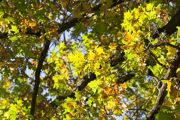 autumn oak leaves example image 1