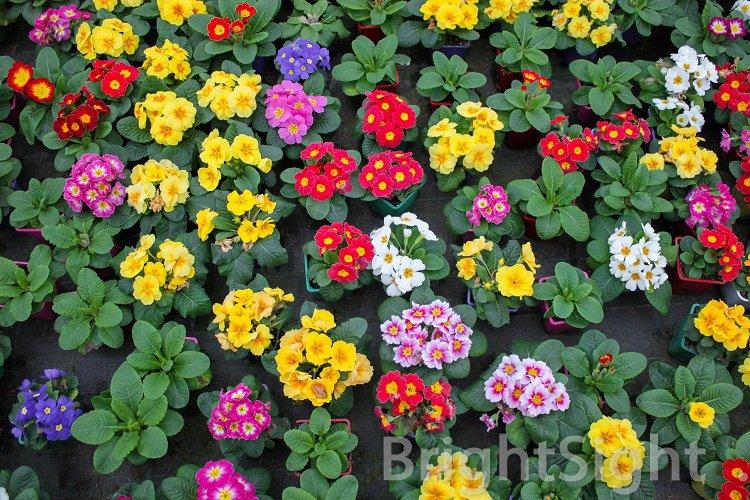 Carpet of bright primroses example image 1