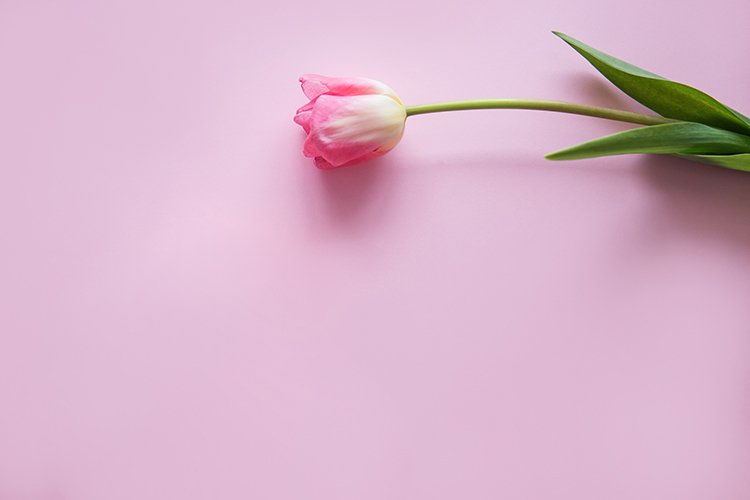 Pink Tulip flower are arranged on a pink background. example image 1