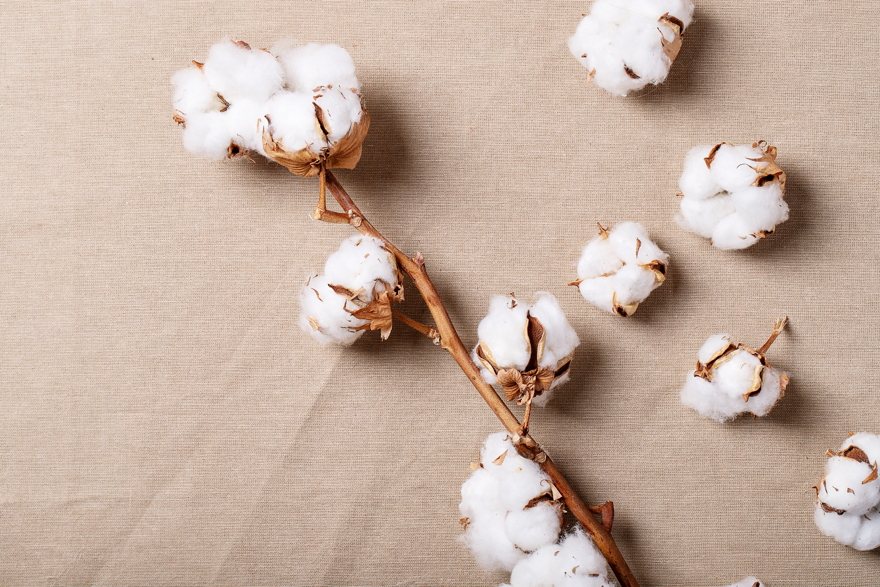 Dry cotton flower example image 1