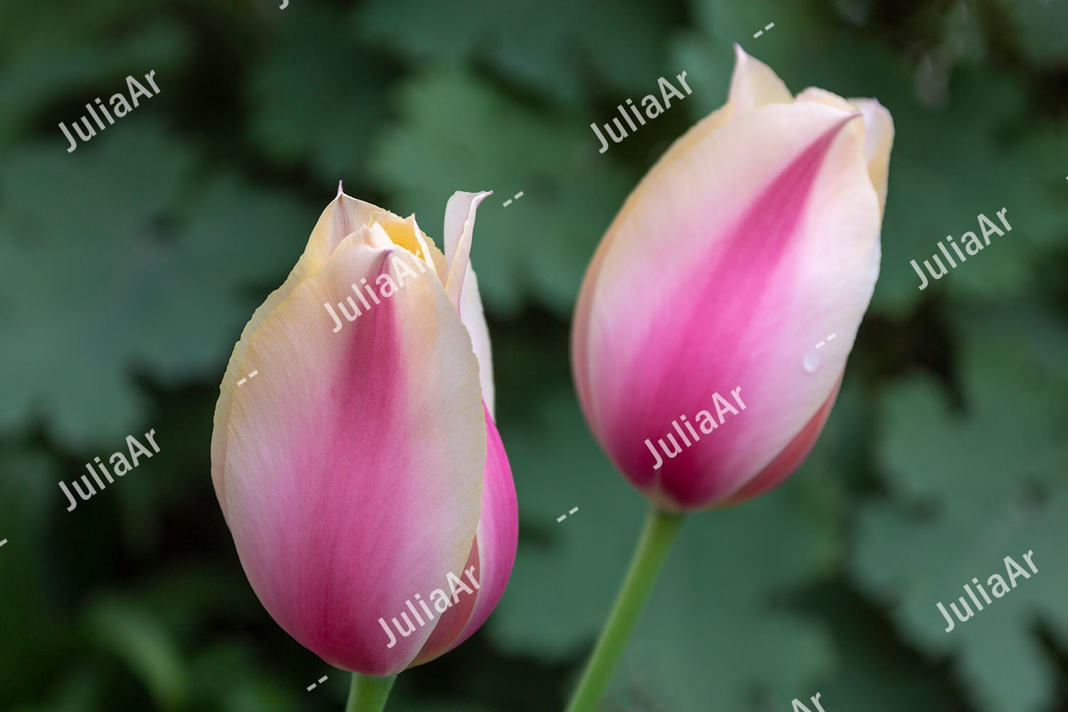 2 tulips, hybrid white and pink. Close up. example image 1