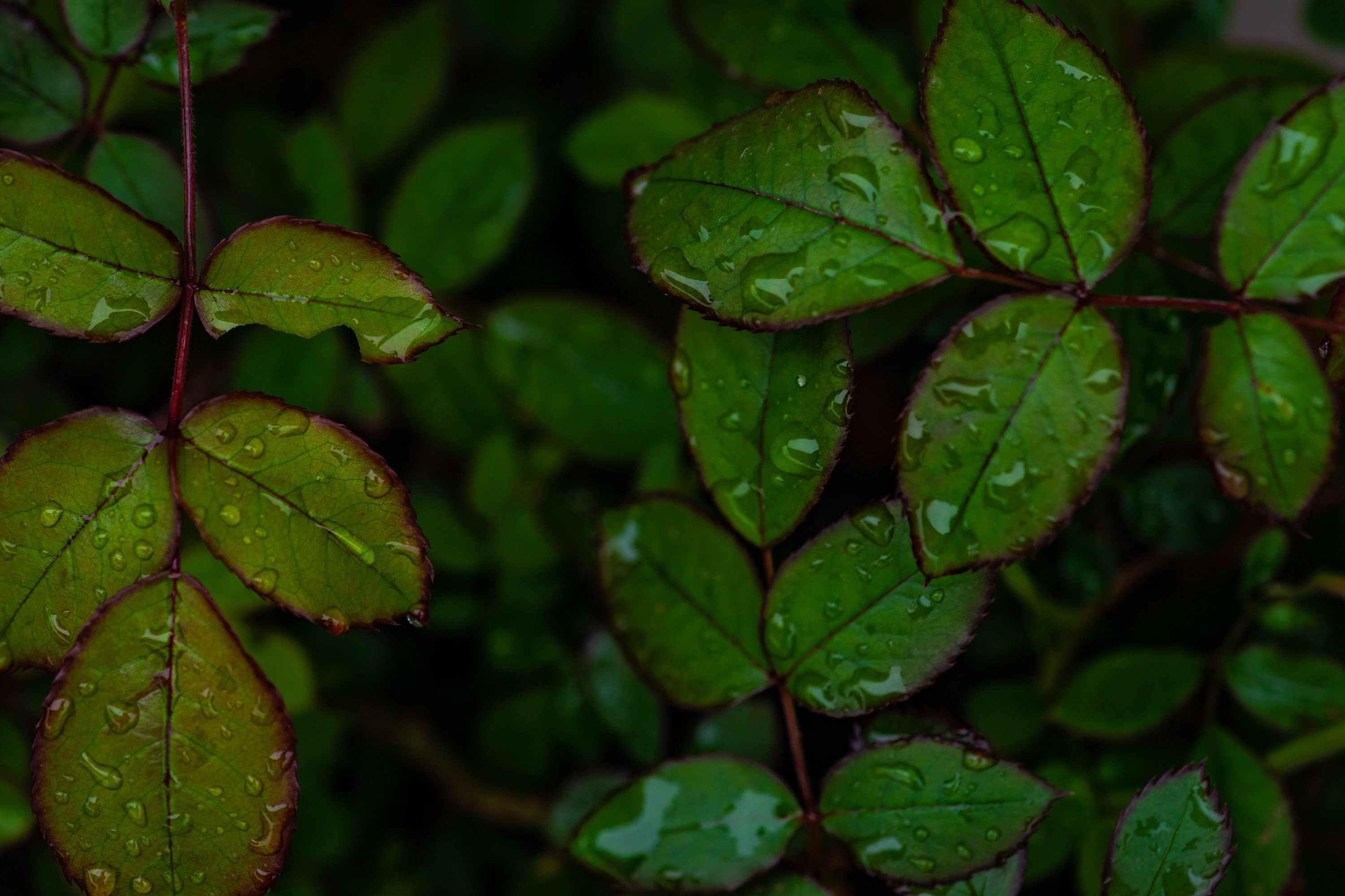 Rose plant green leaves as a background example image 1