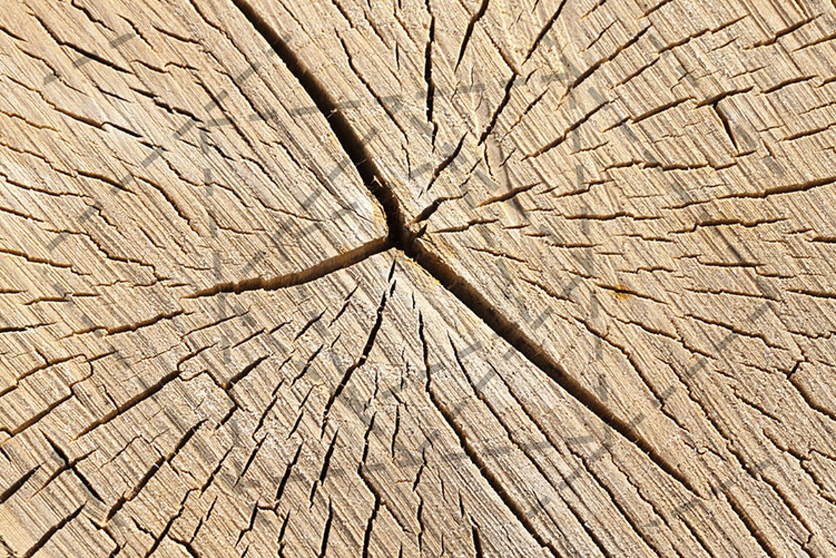 old cracked birch example image 1