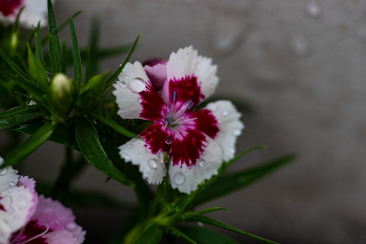 Flower of carnation example image 1