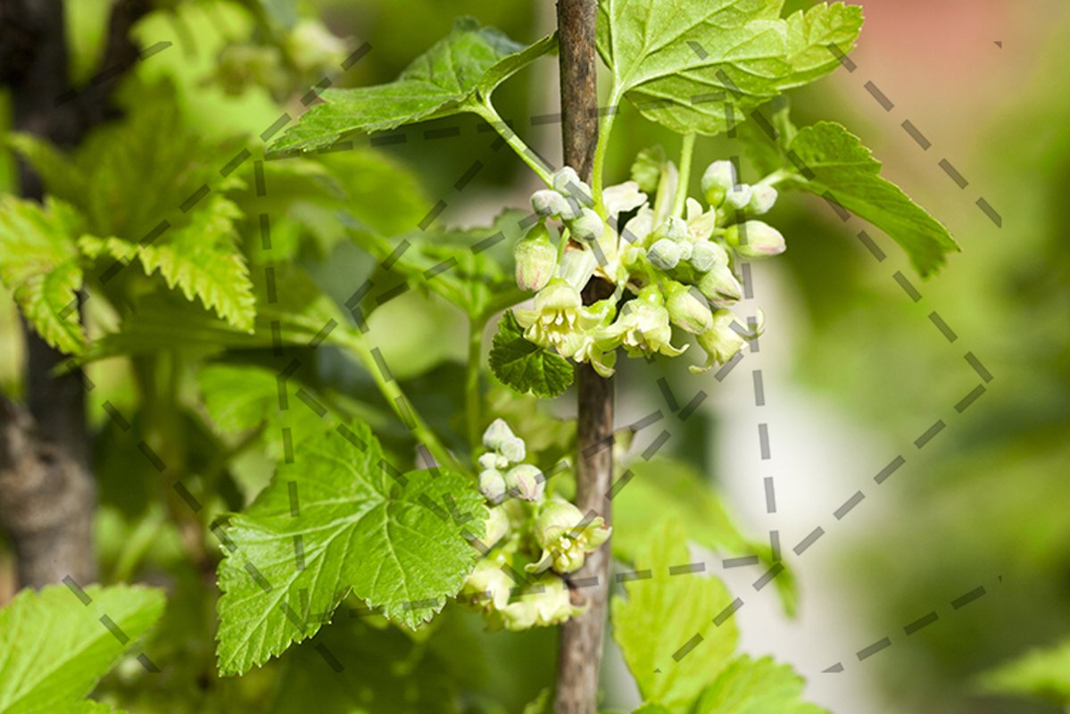 spring flowering currant example image 1