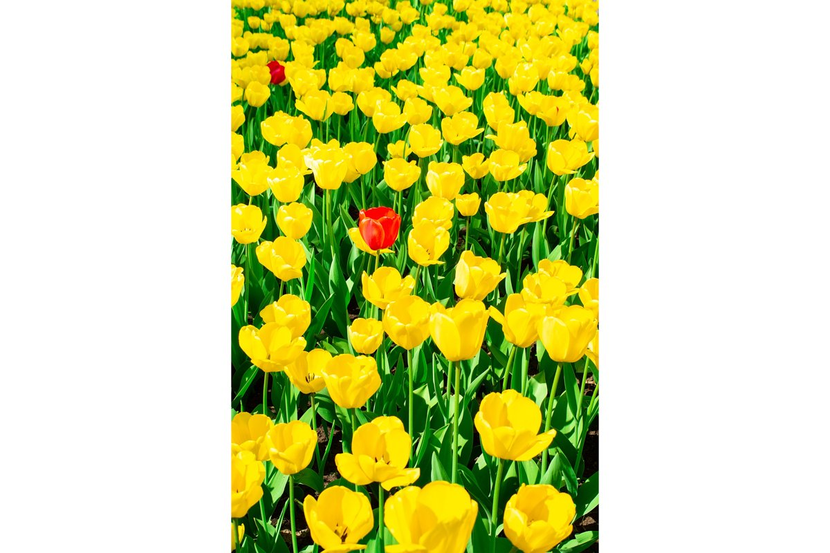 Yellow tulips close up background example image 1