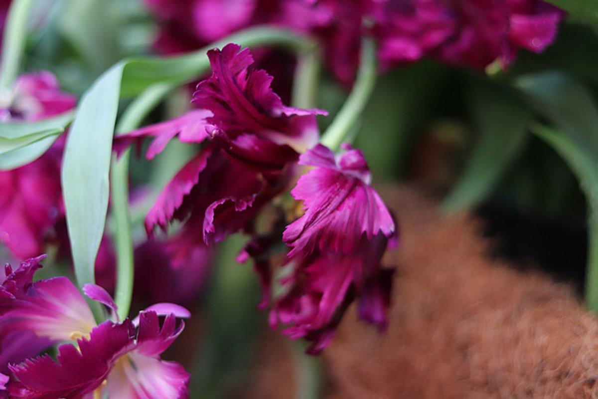 purple flowers tulips close up example image 1
