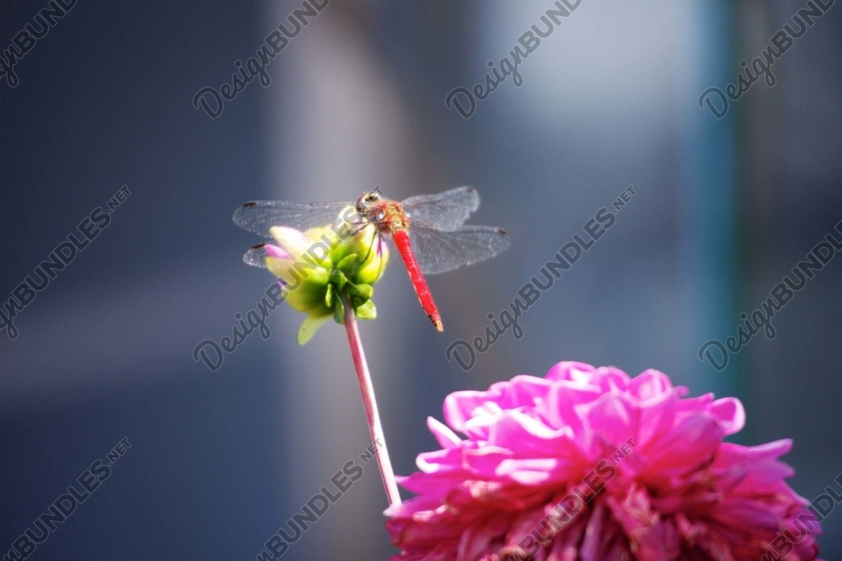 Stock Photo - Close-Up Of Dragonfly Perched On Flower example image 1