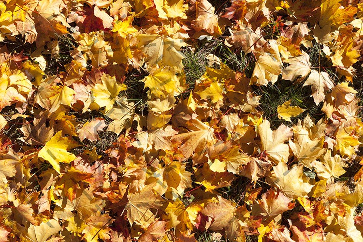 Maple autumn example image 1
