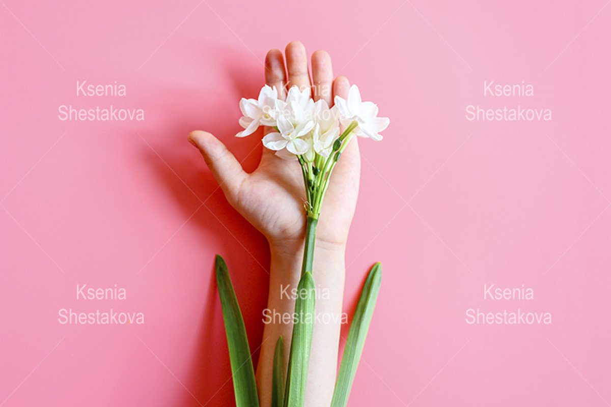 blooming white flowers daffodils on a kid's hand on pink example image 1