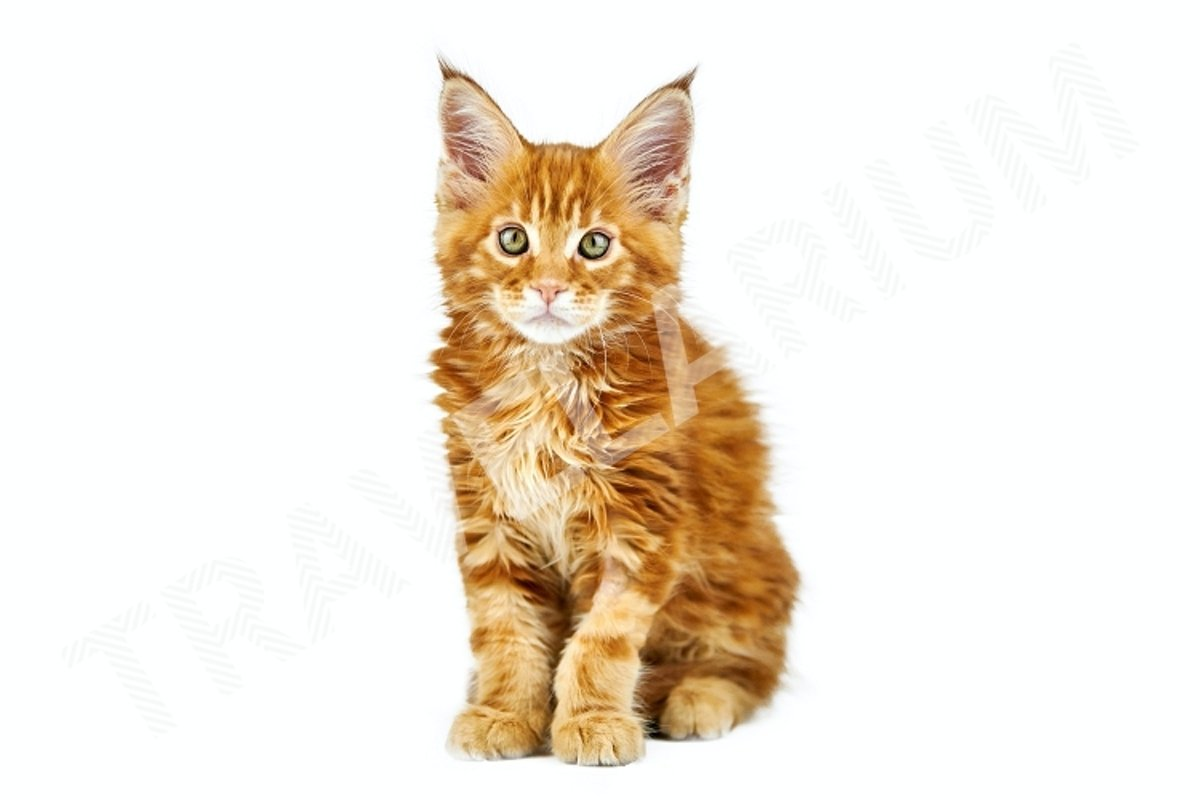 Red maine coon kitten, isolated. example image 1