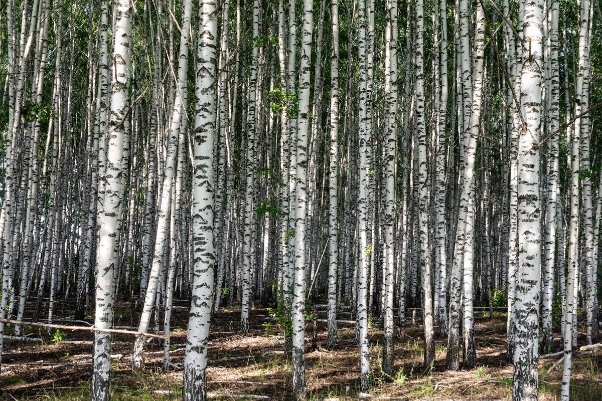 abstract background the birch grove example image 1