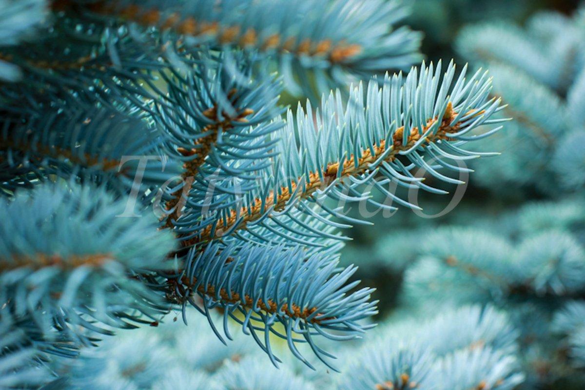 Blue spruce background. Coniferous tree. example image 1
