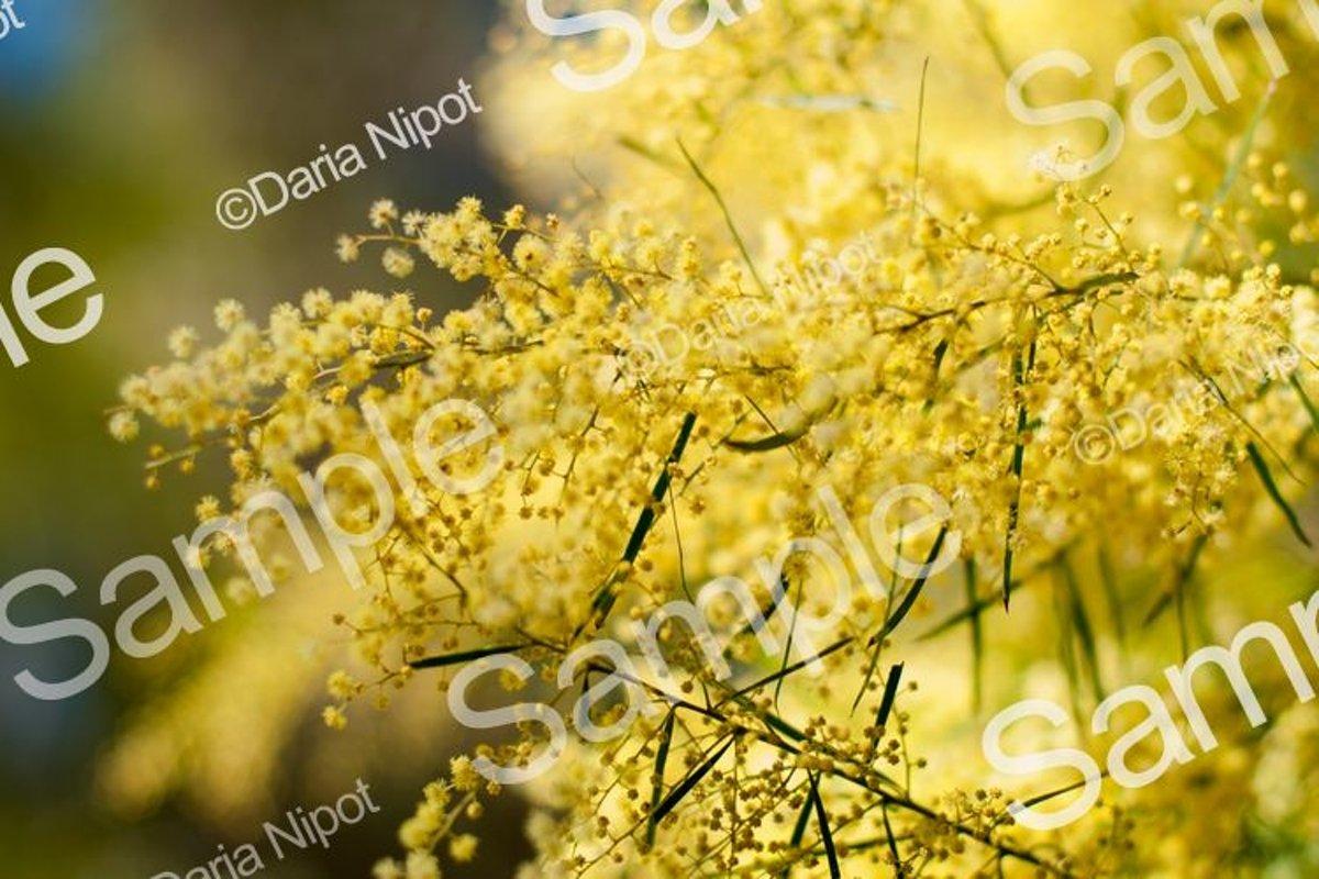 Wattle tree flowers. Mimosa. Acacia example image 1