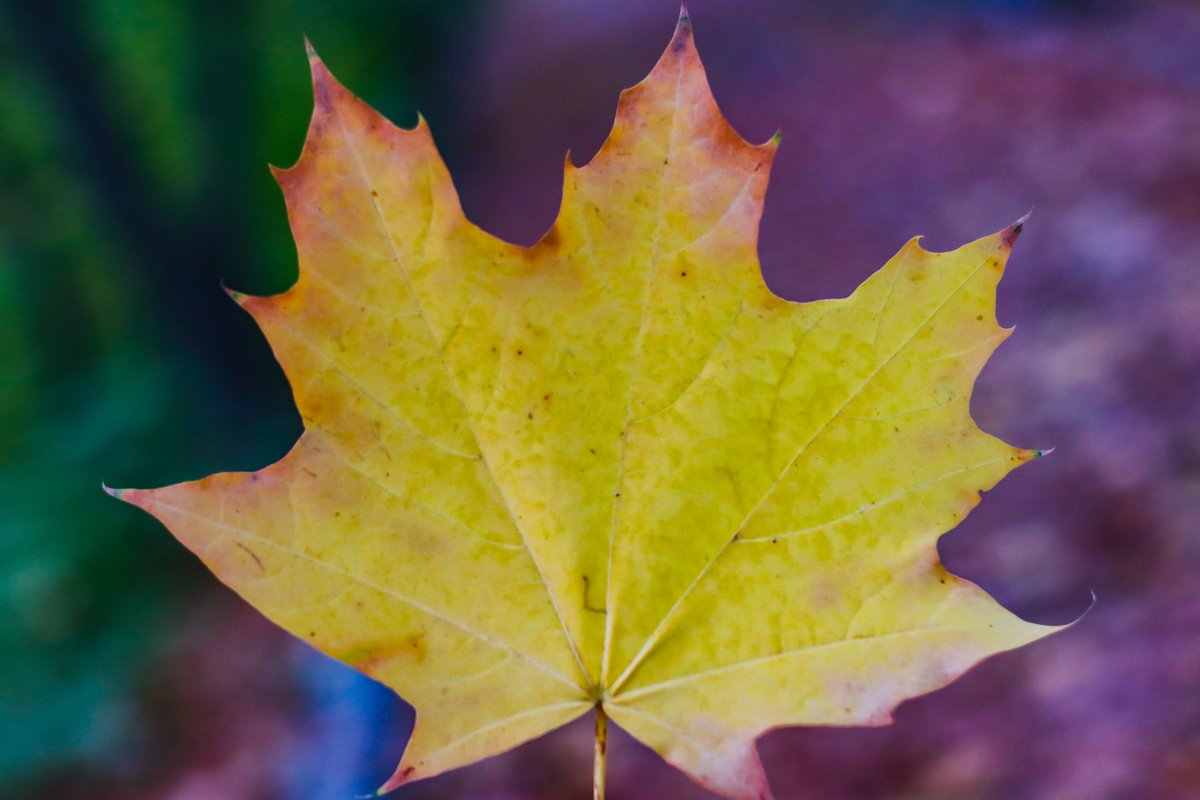 yellow autumn leaf close up example image 1