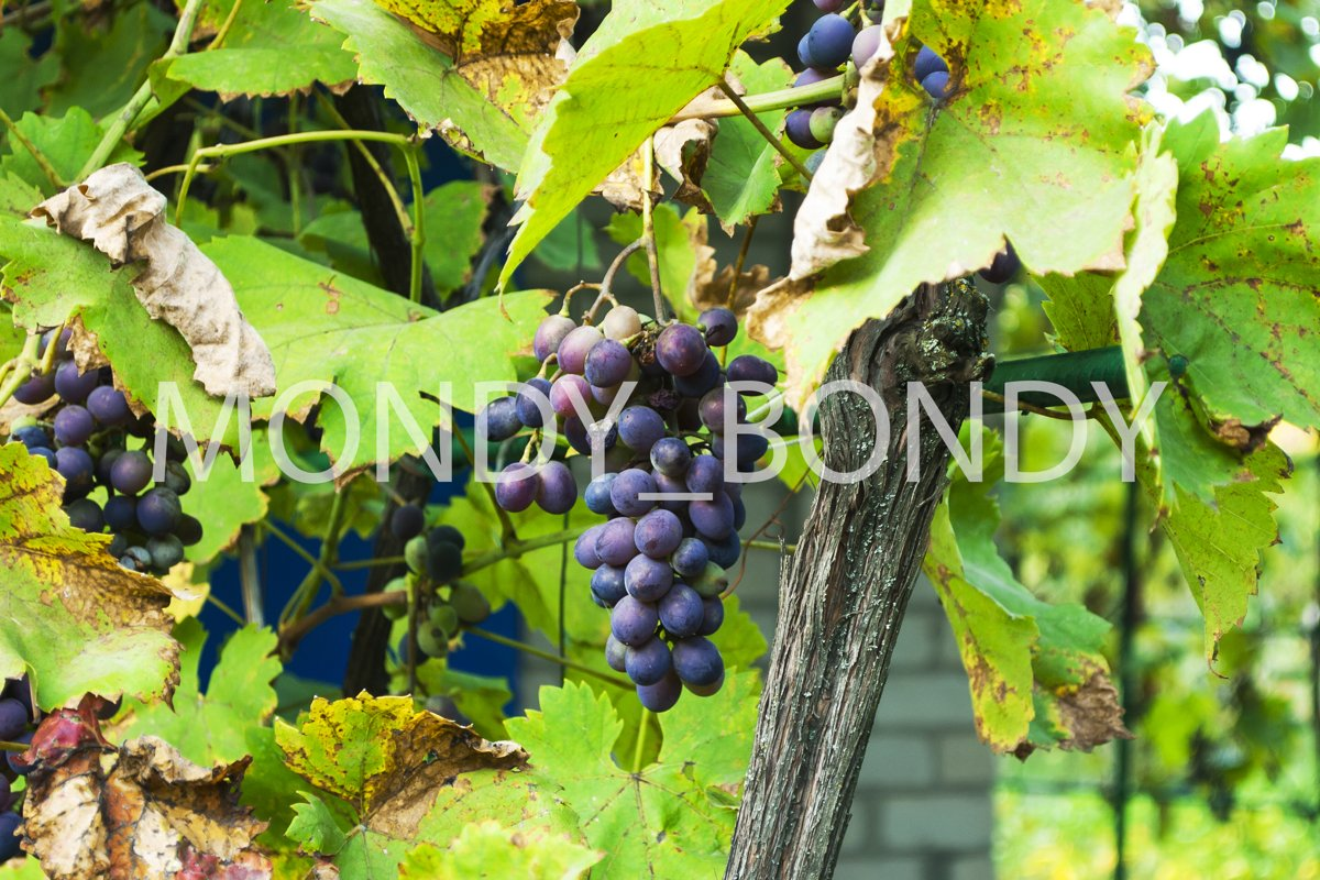 bunch of blue grapes on a bush example image 1