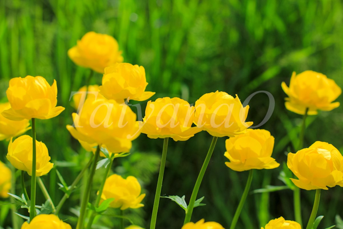 Beautiful yellow Globeflowers European floral background. example image 1