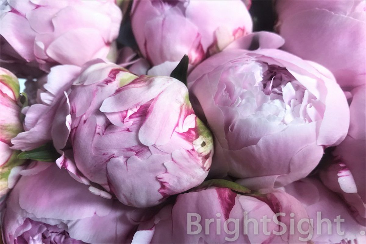 Pink peonies close-up example image 1