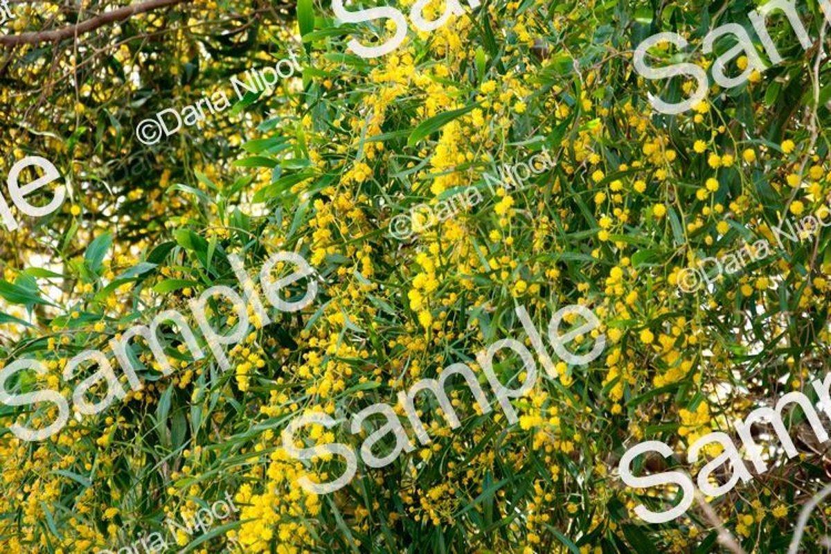 Golden wattle tree flowers. Mimosa. Acacia example image 1