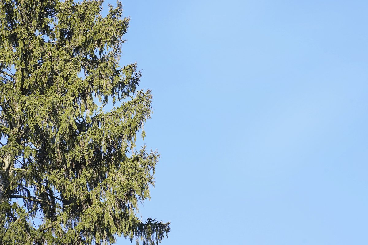Green conifer with blue skies copy space, spring season example image 1