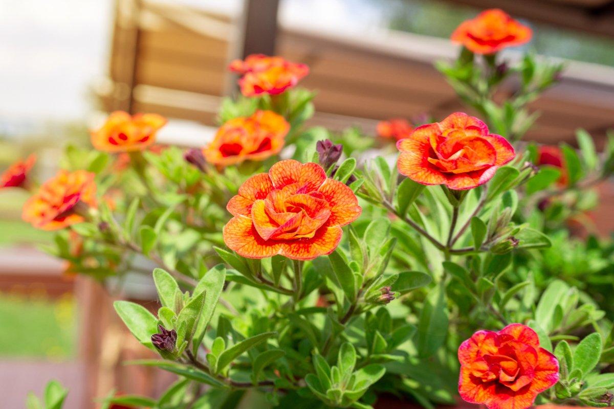 Calibrachoa flower in bloom example image 1
