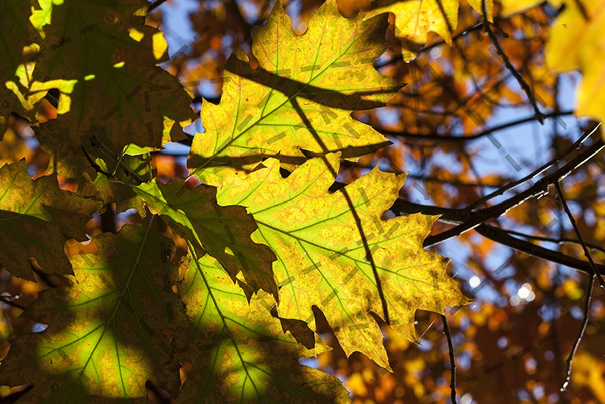 oak autumn example image 1