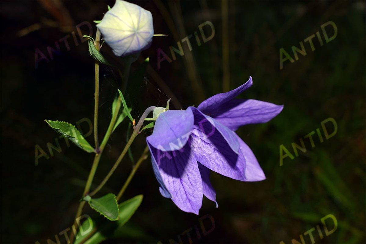 Beautiful blue bells. Summer garden. example image 1