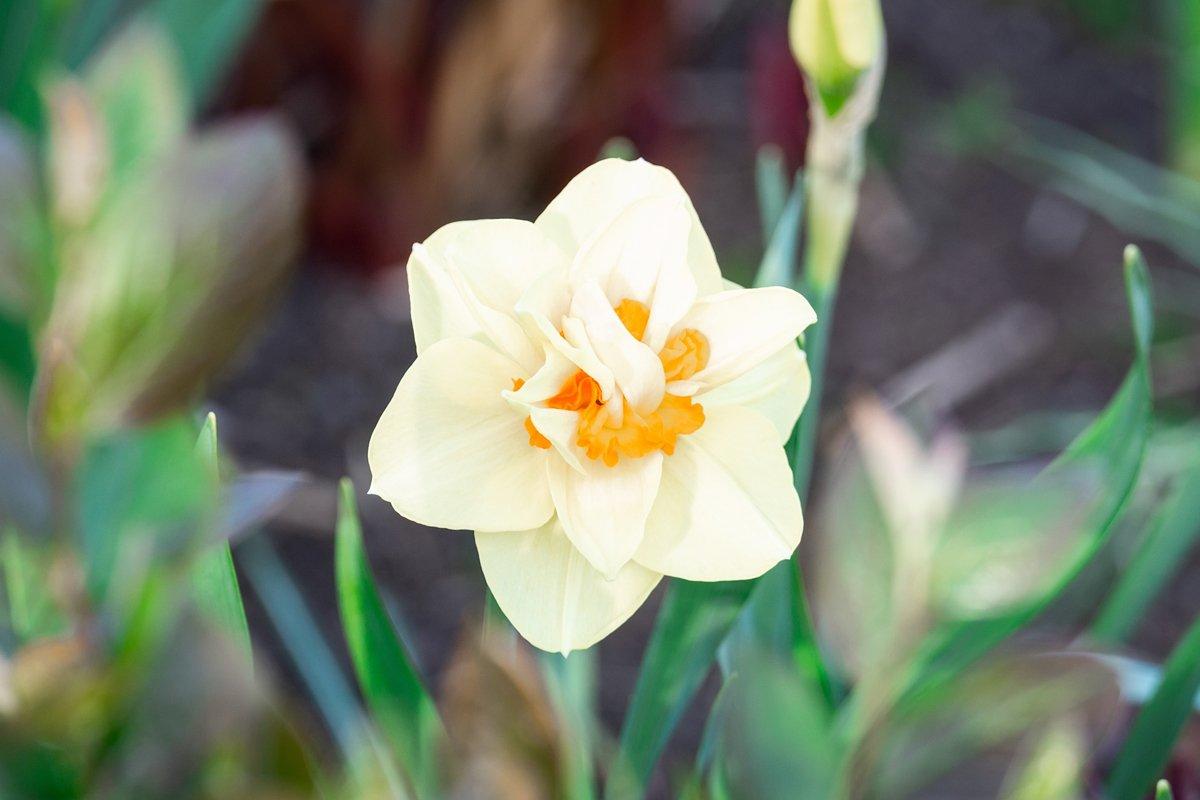 White narcissus Narcissus poeticus example image 1