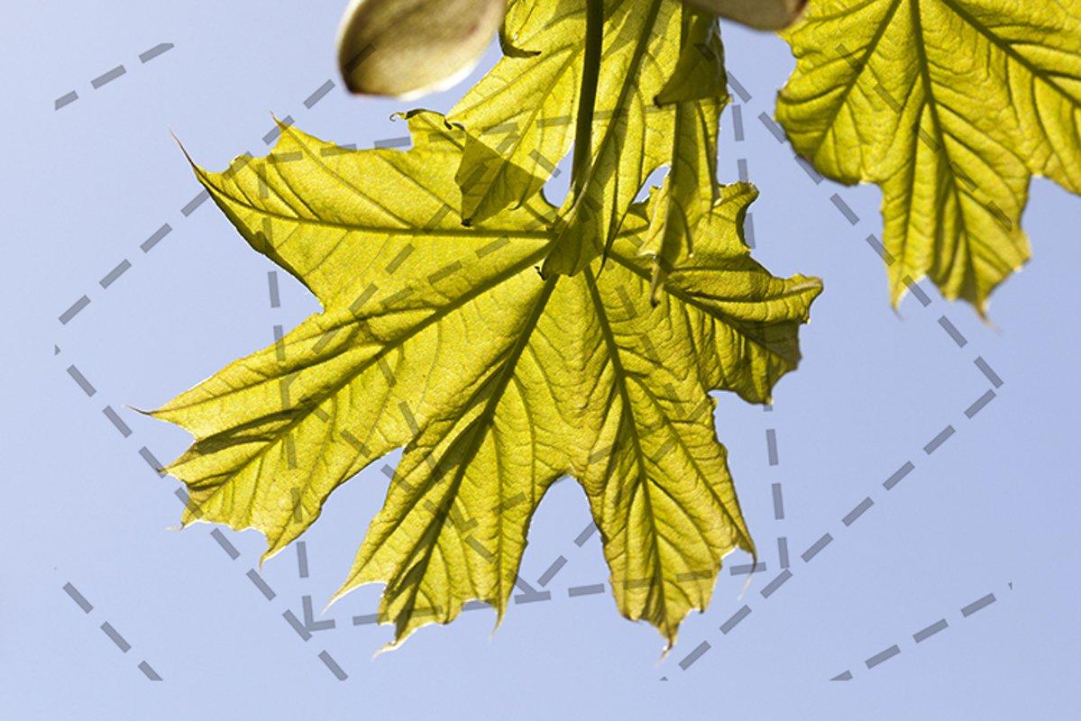 foliage of maple example image 1