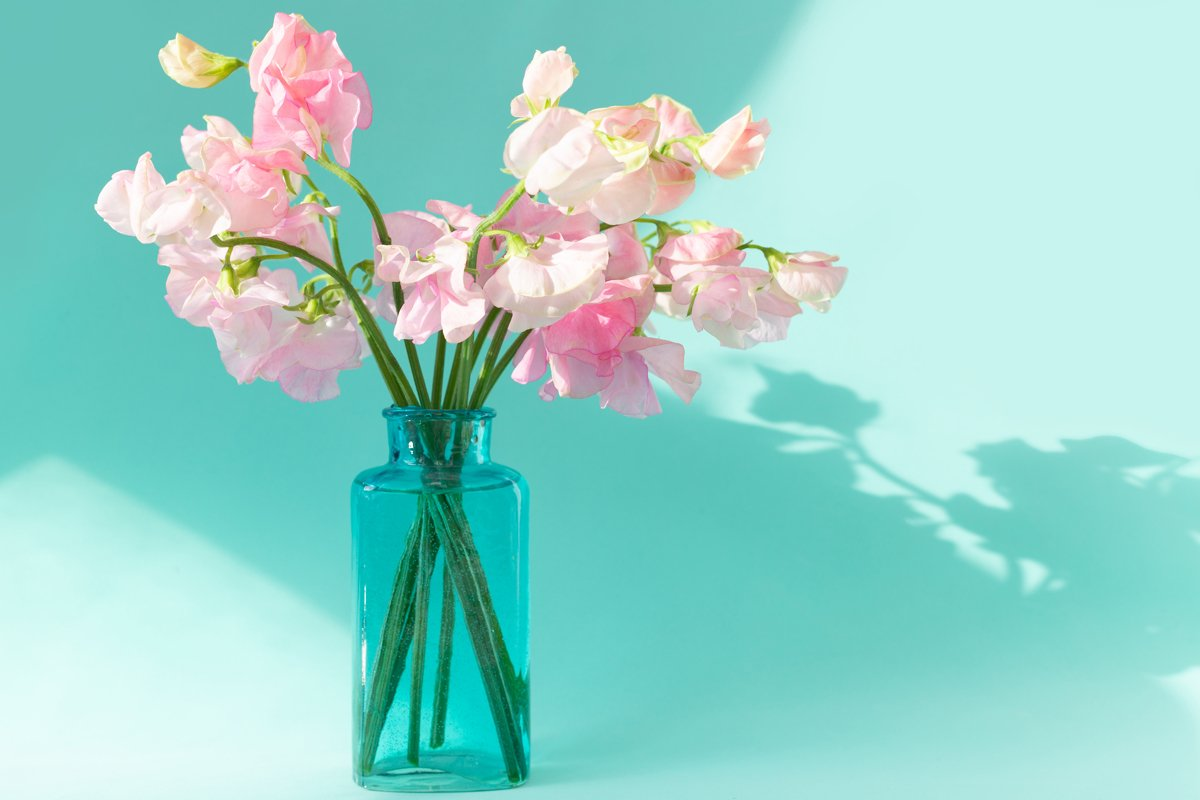 Bouquet of pink sweet peas flowers. Lathyrus in blue vase example image 1