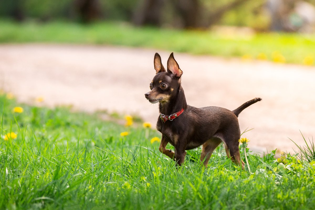 A dog toy terrier example image 1