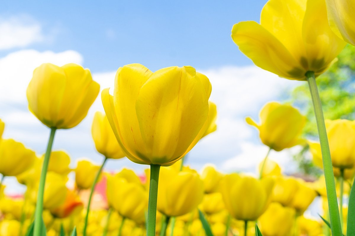 Yellow tulips close up background example image 1