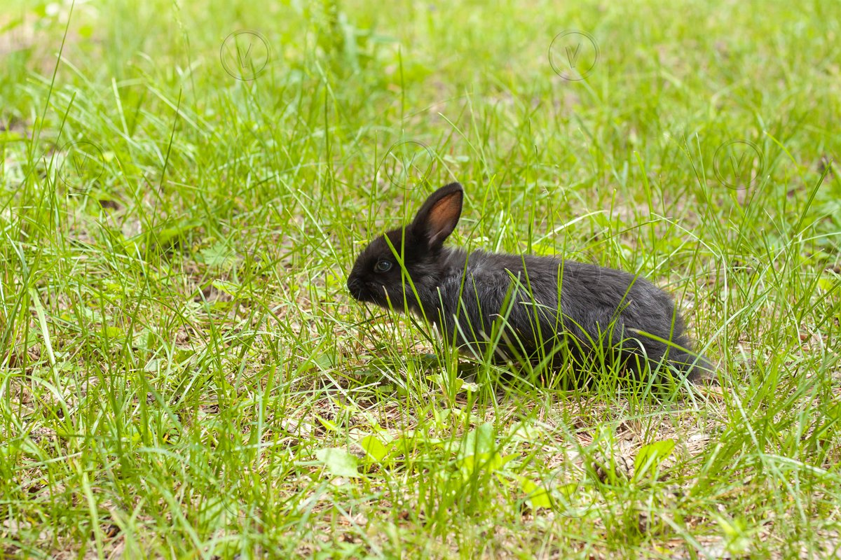 Little black rabbit in green grass example image 1